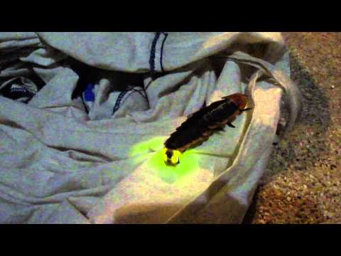 Lamprigera - GIANT MUTANT Thailand Firefly Found in Jungle - BRIGHT Light