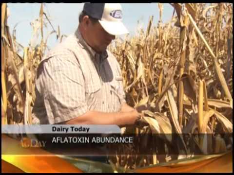 Dairy Today Report: Iowa Screening Milk for Aflatoxins