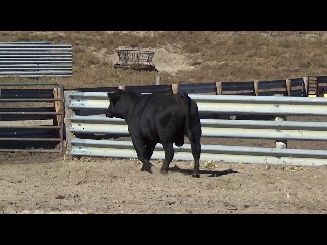Connealy Angus Lot 190