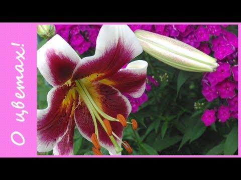 Как размножить лилии чешуйками. Часть 1. Сортовые лилии -чудесные садовые цветы! Препарат hb-101