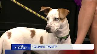 OLIVER TWIST - Fox 13 Best friend from the Humane Society of Utah