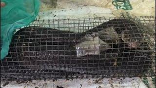 Cận Cảnh Bắt Rắn Hổ Khổng Lồ 3KG Ra Khỏi Bẫy Cực Hấp Dẫn #letuyenxinh | Rắn Hổ Khủng