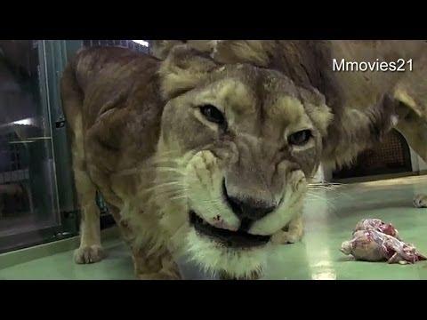 Lion eats fish~魚を食べるライオン