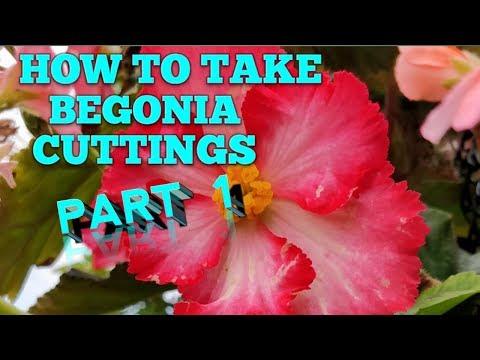 BEGONIA CUTTINGS