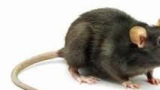 Download Video Kisah Seorang Laki-laki yang Melahirkan Anak Seperti Tikus (Gara-gara Menghina Sunnah Siwak) MP3 3GP MP4