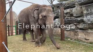 Elephant Yoga at the Rosamond Gifford Zoo