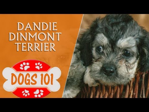 Dogs 101 - Dandie Dinmont Terrier  - Top Dog Facts About the Dandie Dinmont Terrier