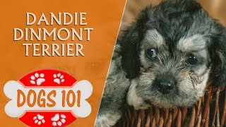 Dogs 101  Dandie Dinmont Terrier   Top Dog Facts About the Dandie Dinmont Terrier