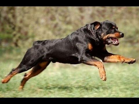 ротвейлеры собаки фото