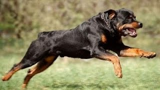 Ротвейлеры-собаки убийцы?