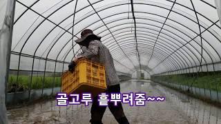 하우스 미나리 재배, 영주 시골농사