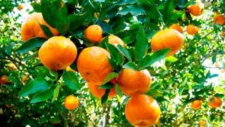 Este Adubo Vai Fazer Suas Frutíferas dá Mais Frutos