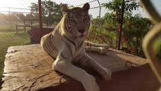 Acari is cute while food is being removed | WHITE TIGER