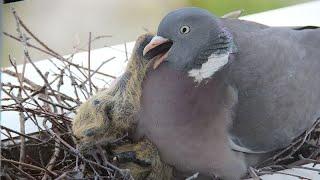 Дикий лесной голубь вяхирь - Гнездовая жизнь и интересные факты - Птицы России - Фильм 30