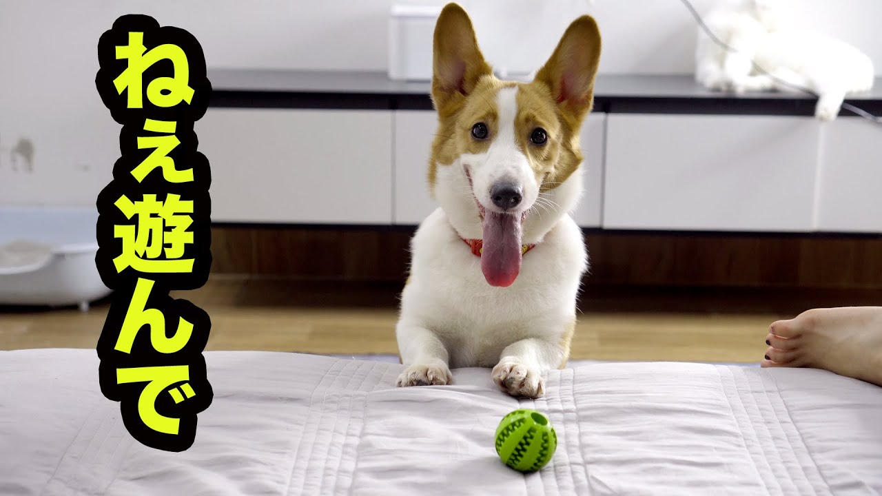 遊んで欲しくて何度もボールを持ってくるコーギー犬・ボールが好きすぎたコーギーはこうなります