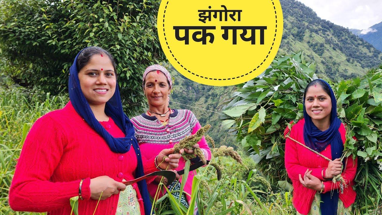 आज खेतों में सासू जी के साथ    झंगोरे की लंवाई    Pahadi Lifestyle Vlog    Priyanka Yogi Tiwari   