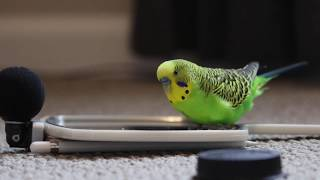Budgie Bird With 35  Word Vocabulary (Clear Audio!)