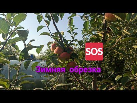 Яблоня конфетное. Результат ЗИМНЕЙ ОБРЕЗКИ дерева, крона- русское веретено.