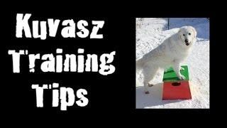 Kuvasz Training