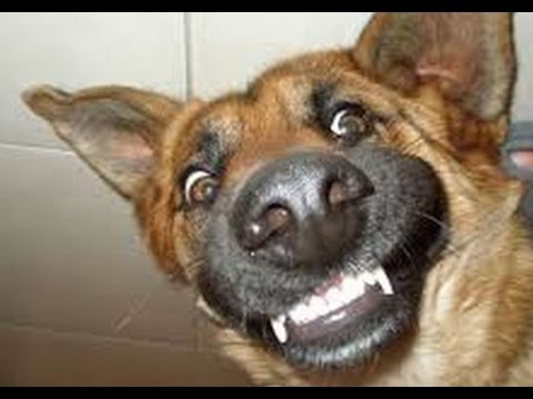 funny german shepherds compilation   funny animals funny