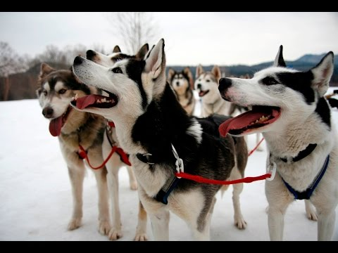 Dog Sledding in New Hampshire: Live Free & Mush