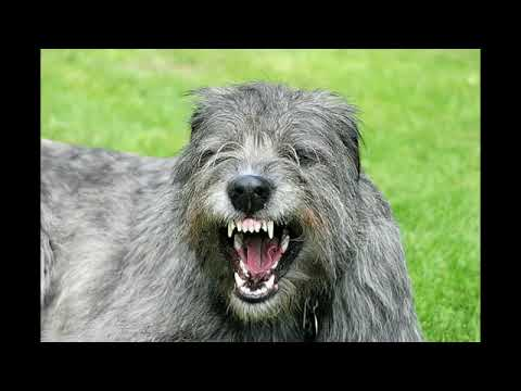 Irish Wolfhound - big dog breed