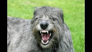 Irish Wolfhound  big dog breed