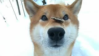 Выдержка / Выдержка у собаки / Шиба ину / Сиба ину