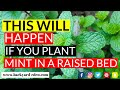 This will happen if you plant mint in a raised bed