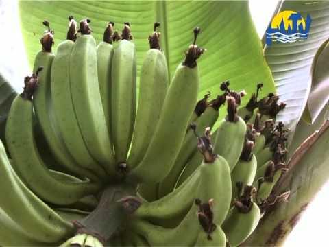 Magyar banán (www.hvtv.hu)