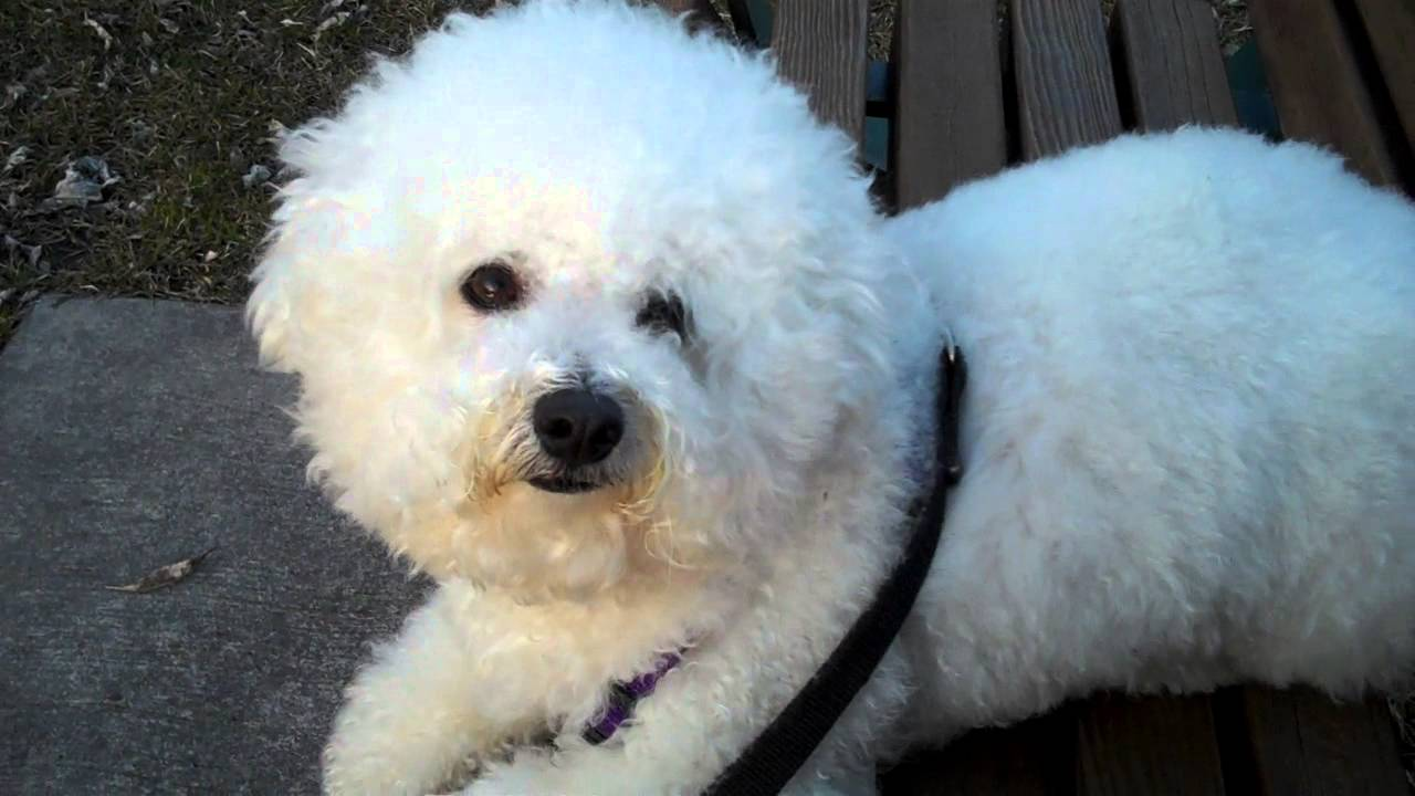 freshly groomed bichon - medium length hair cut - youtube