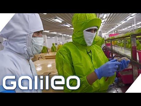Drei Tage Garnelen pulen - ein Selbstexperiment | Galileo | ProSieben