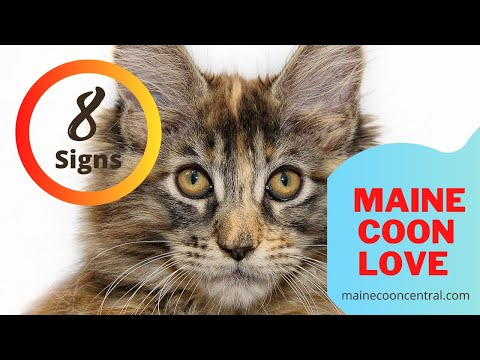 8 Signs Of Maine Coon Affection