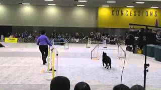 Agility Bloopers With Black German Shepherd Dog At The Seattle Kennel Club Show.