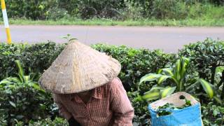 Tea Picking in Vietnam's Central Highlands