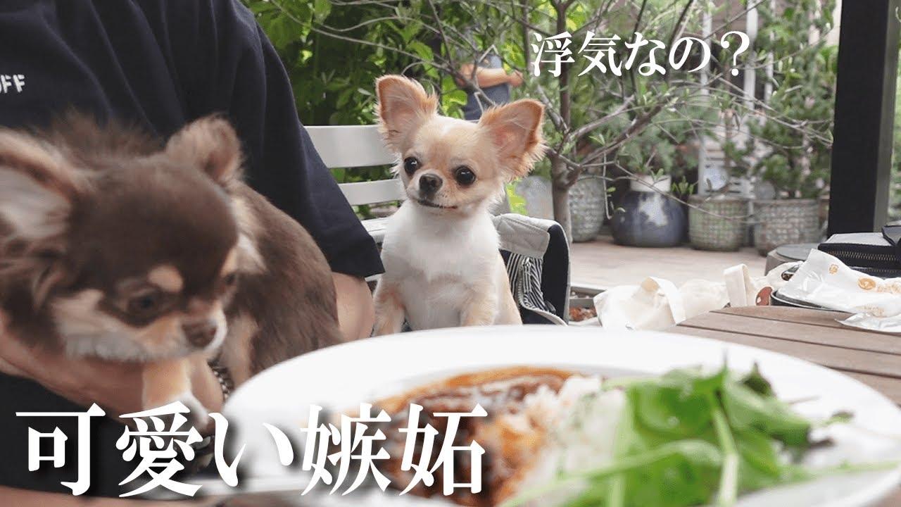 カフェで子犬を抱っこしていると「浮気?」と言わんばかりの表情をする成犬チワワが可愛い【dog】【chihuahua】【cafe】