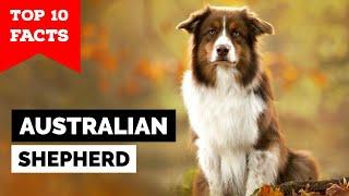 Australian Shepherd  Top 10 Facts