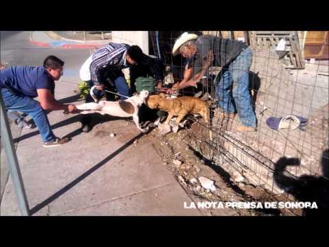 Pit Bull Pair Attacks in Mexico  / Par de Pitbull Sanguinarios Atacan