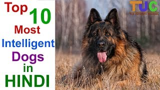 Top 10 Most Intelligent Dog Breeds In Hindi - DOGS IN HINDI - THE ULTIMATE CHANNEL