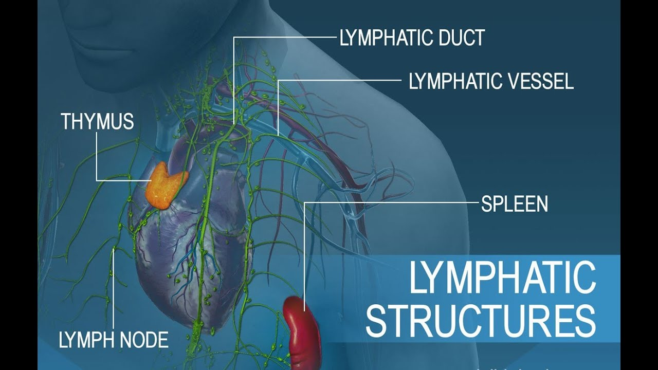 Anatomy And Physiology Of Lymphatic System Youtube