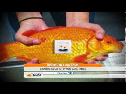 Lake Tahoe Invaded By Non-native Giant Goldfish