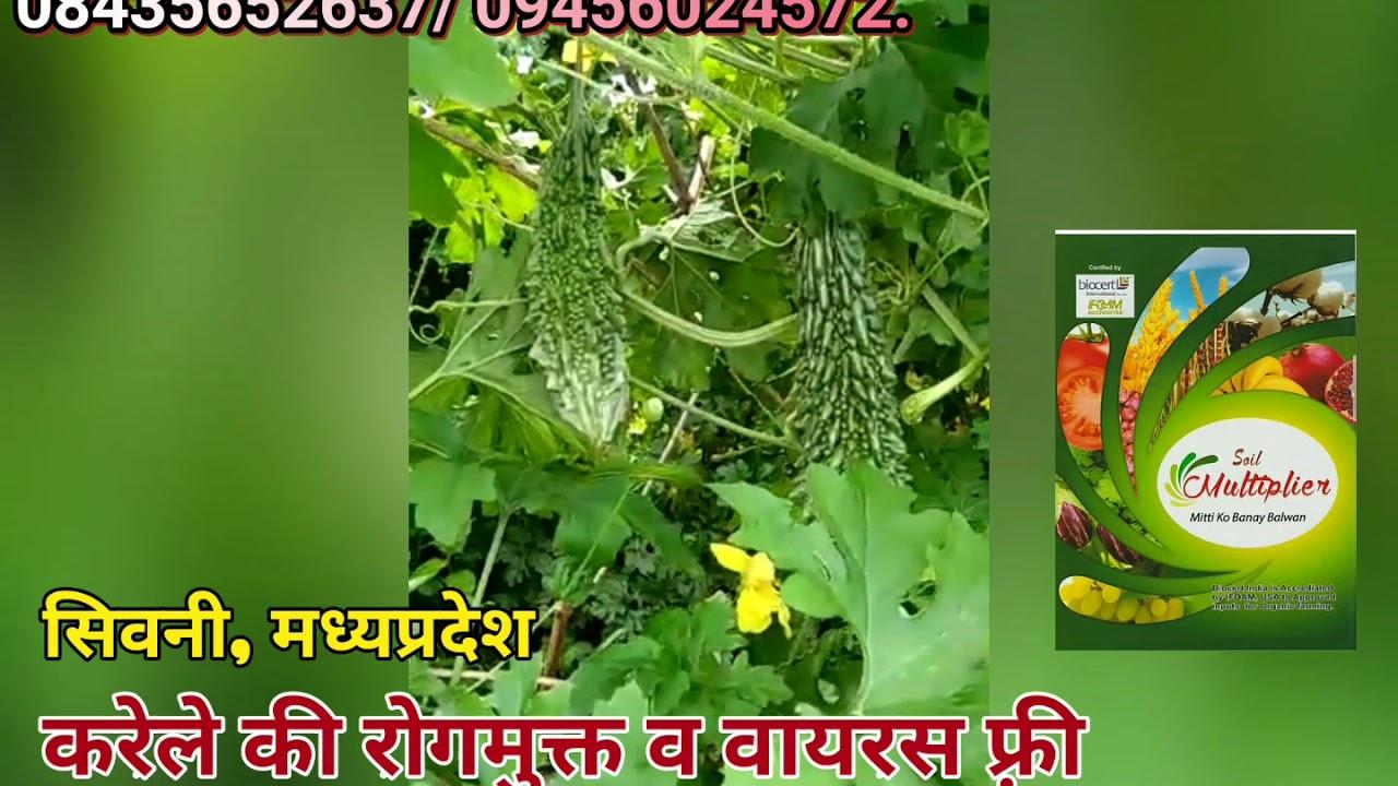 सिवनी, मध्यप्रदेश में करेले की खेती में पोषक प्रबन्धन मल्टीप्लायर बिधि से- 08435652637/ 09456024572.