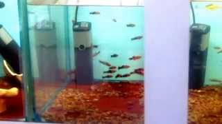 Выбор  рыбок  в  зоомагазине(С этого начинается увлечение на всю жизнь., 2015-04-25T09:29:30.000Z)