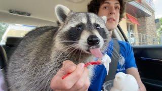 Taking my pet raccoon through the drive thru (one year later!)