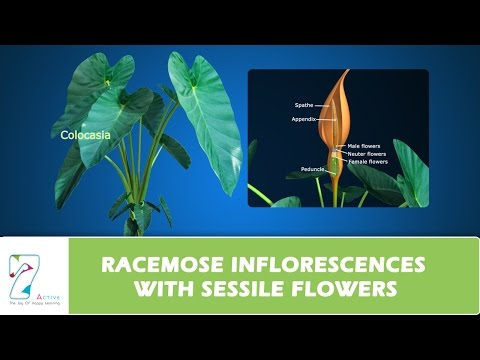 RACEMOSE INFLORESCENCES  WITH SESSILE FLOWERS