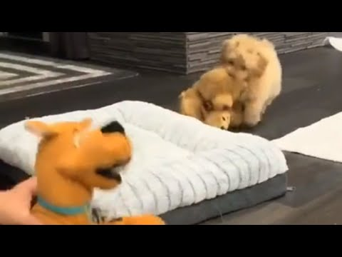 Puppy Is Overly Protective Of His Stuffed Animals
