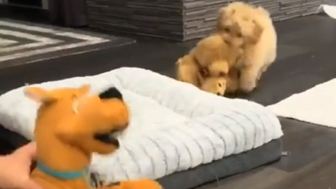 Download Puppy is overly protective of his stuffed animals