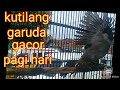 Kutilang Garuda Gacor Di Pagi Hari  Mp3 - Mp4 Download