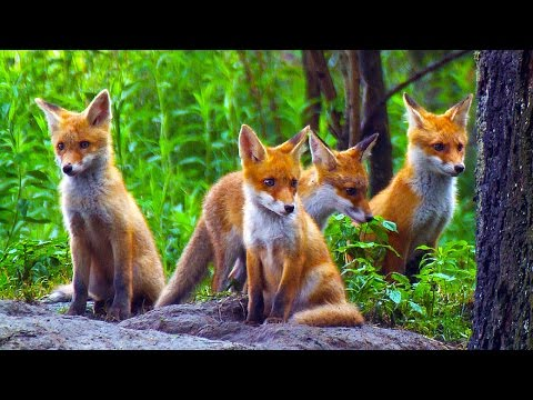 CUTE RED FOX PUPS/ Young red foxes playing / Nature ...