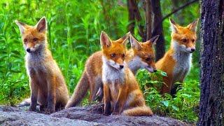 CUTE RED FOX PUPS/ Young red foxes playing / Nature Documentary Red fox cubs playing / Spielende Jungfüchse /  Rotfuchs / Vulpes vulpes / Bawiące się szczeniaki lisa / Dzikie zwierzęta / Lis rudy